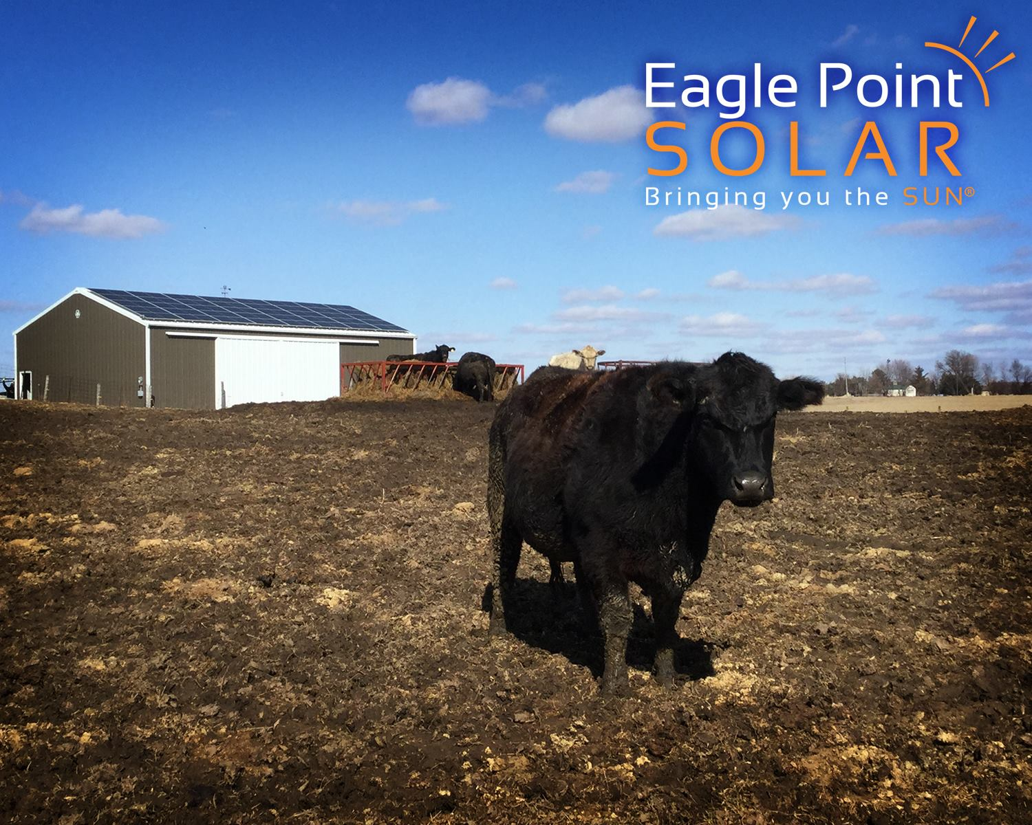 Photo of black cow in a pasture in front of a roof mounted solar array